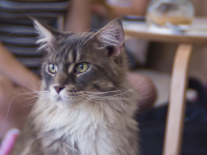 Cat Cafe - Main Coon